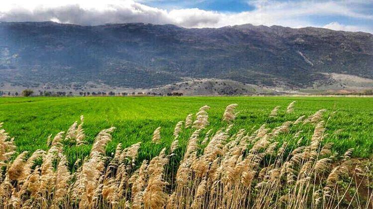 🌾🌾🌾🌾 (Bekaa Valley)