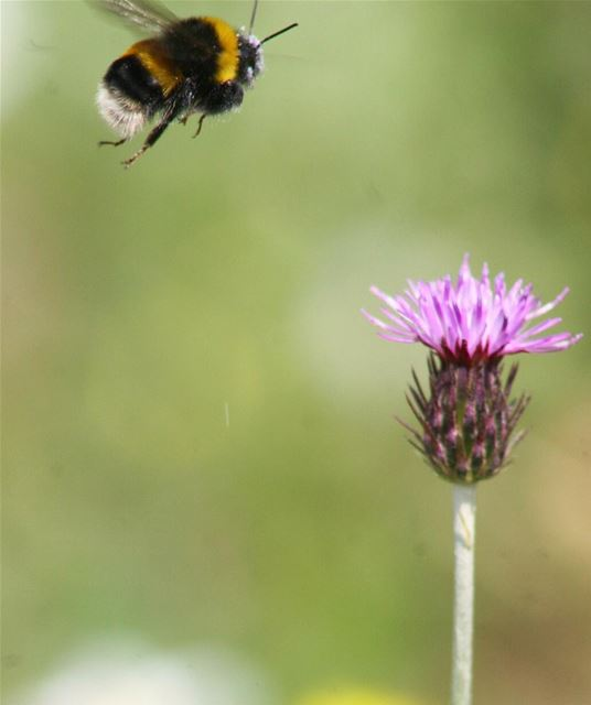 """Aerodynamically, the bumble bee shouldn't be able to fly, but the bumble..."