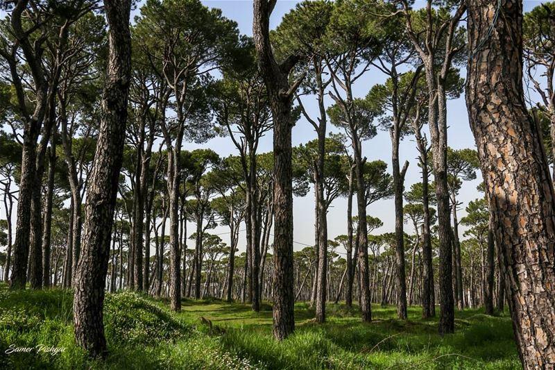 The trees of Bolonia..💚. Lebanon ... trees tree_magic Lebanese ...