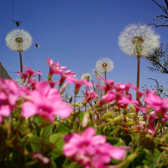 dandelion シawesomenessツ dandelions photography photographyislifee ...