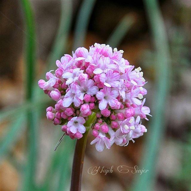 Spring flowers plant plants flower lebaneseinstagram ... (Baskinta, Lebanon)