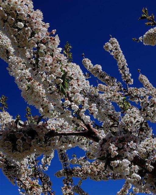 Morning, Petal. Along with 'cherub', 'blossom' and 'dolly' (though the... (Qaa Er Rîm, Béqaa, Lebanon)