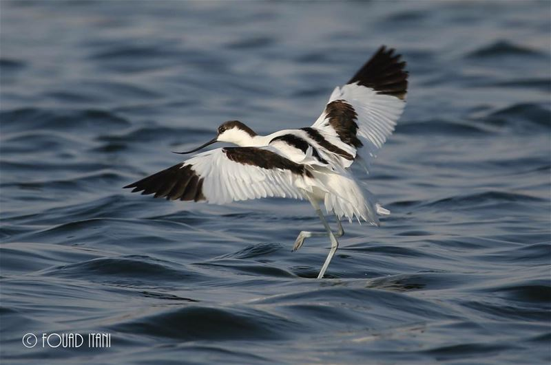 Pied avocet angrybirds birdsofinstagram creation livelovelebanon❤ طيور