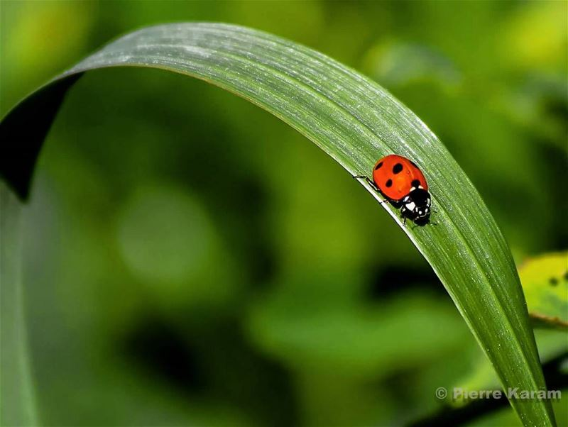 her majesty miss ladybug having a morning walk in nature green ...
