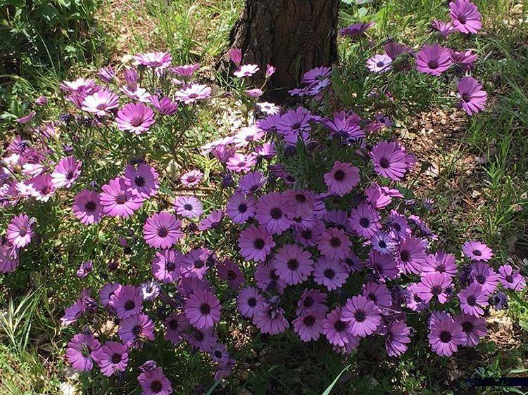 ورود الربيع (📸 لبنان 24) Lebanon Spring insta purple beirutn...