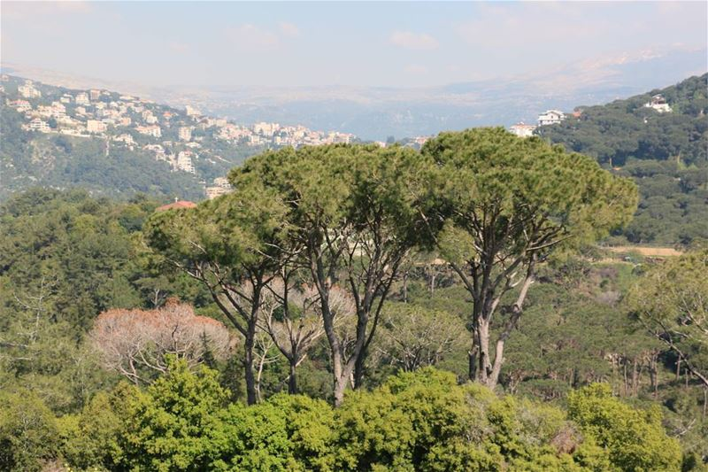 Pines of all sizes... pinetree  pine  small  medium  large  lebanesepine ... (Ferme Mar Chaaya)