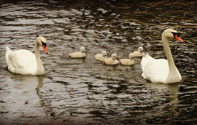 Family photo 📷 👌 Swan Cuteness Family POTD Insta_Jezzine ... (Lac de Bnachii)