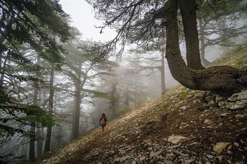 The cedar forest in Horsh Ehden vsco ... (Horsh Ehden Nature Reserve)