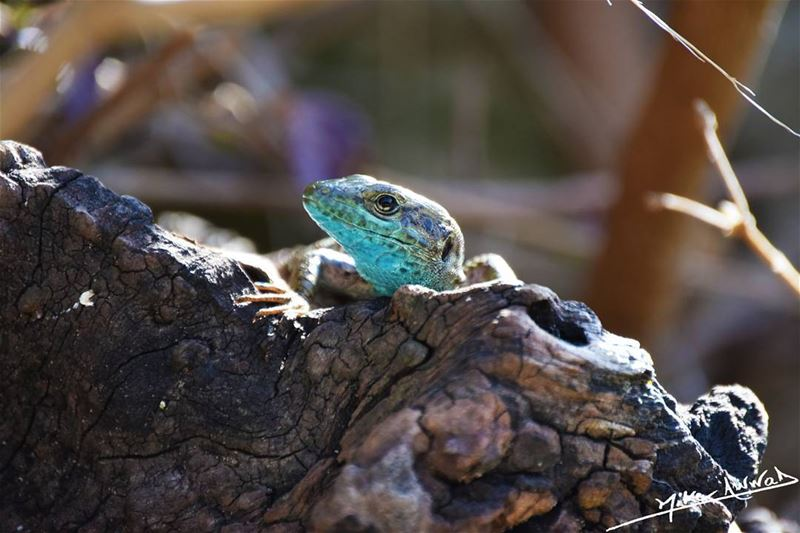 The blue neighbour... nature lebanon lezard animals livelovebeirut ...