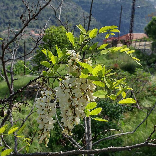 Intoxicatingly sweet fragrance of these white wisteria trees all over the... (Dayr Al Qamar, Mont-Liban, Lebanon)