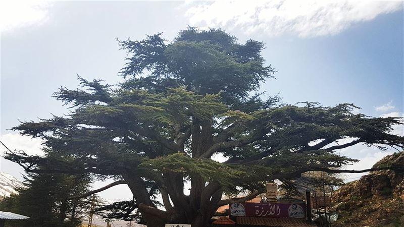 lebanon Cedars cedarsforest cedarsofgod🌲 (Cedars of God)