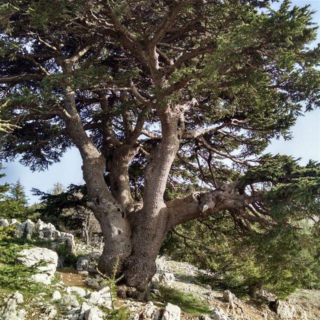 Один из заповедников ливанских кедров в Шуф. ecological cedars ... (Al Shouf Cedar Nature Reserve)