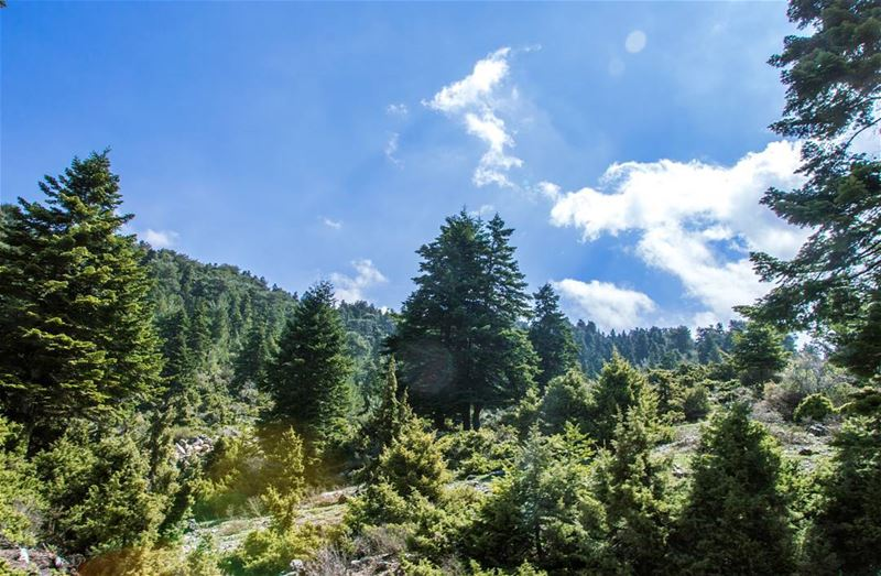 🌲🌲.... nature landscape forest cedars trees green sun sky clouds... (El Qamouaâ)