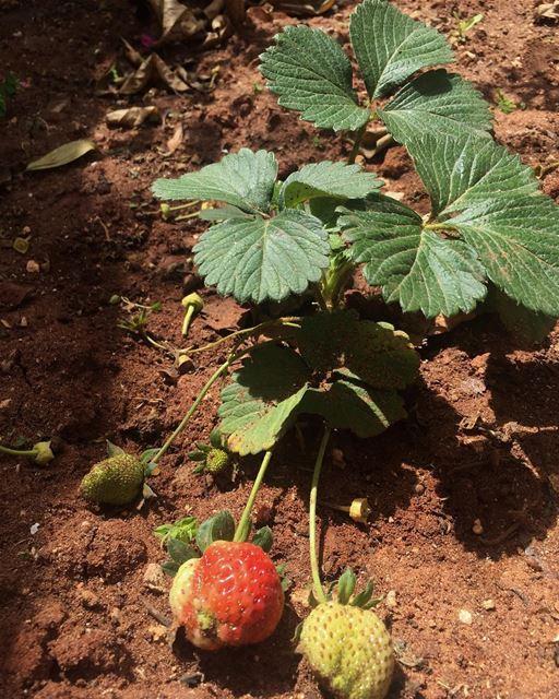 naturelife nochemicals healthy fresh newborn strawberry mygarden ...