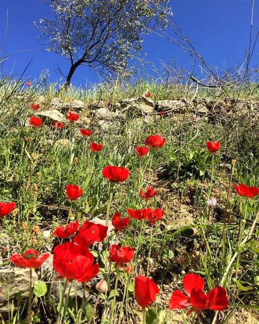 Live life in full bloom! 🌸💚🌺 flowers flowerstagram red coquelicot ... (Baakline, Mont-Liban, Lebanon)