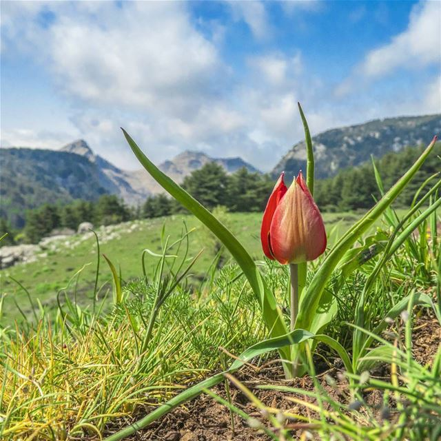 Hello little friend 🌷🏔. tulip wild flower field green mountains ...
