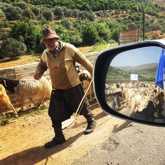 Shepherd starting the summer campaign up to the mountains at Cheeba road ... (Ebel es Saqi marj 'youn)