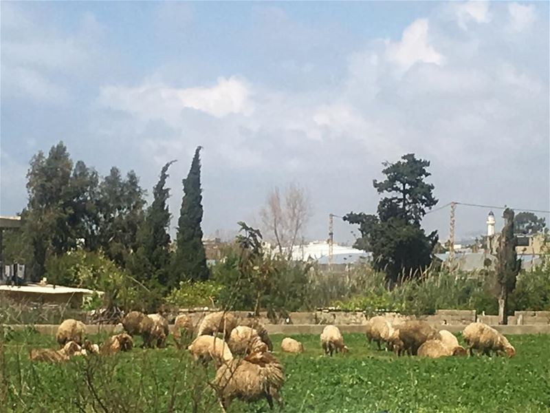 lebanon saida saynik beautiful herd of sheep field nature instanature... (Saynik)