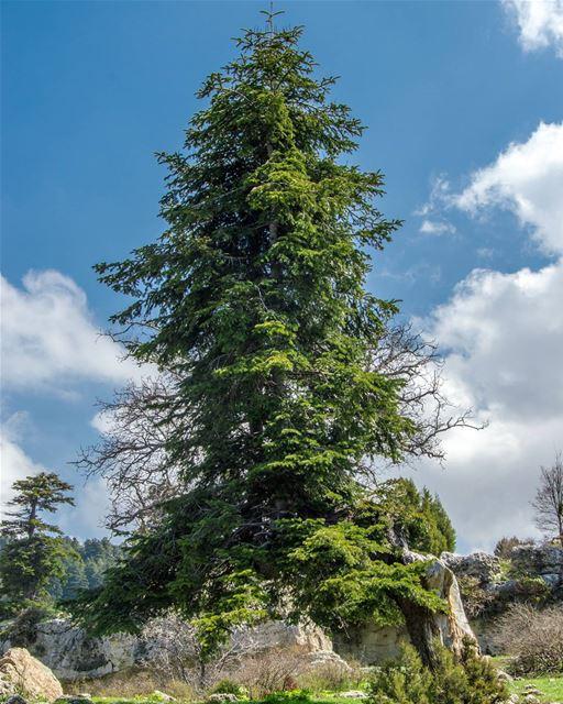 Magical tree🌲🌲..... magical landscape tree clouds nature magic... (El Qâmoûaa, Mont-Liban, Lebanon)