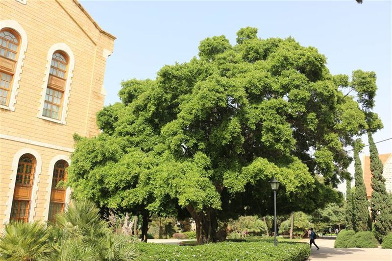 Life... life  nature  mothernature  huge  tree  monument  aub  aubcampus ... (American University of Beirut (AUB))