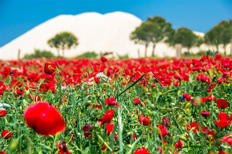 🌷🌷🌷..... flowers flower red green nature naturephotography... (Aakar, Liban-Nord, Lebanon)