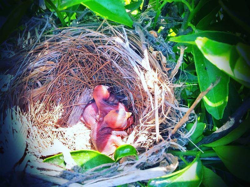 🐣🐥🐦Little Birds(bulbul) In The Nest🌳🐣🏡📷 LEBANON /AKKAR IN 4/4/2014... (`Akkar, Liban-Nord, Lebanon)