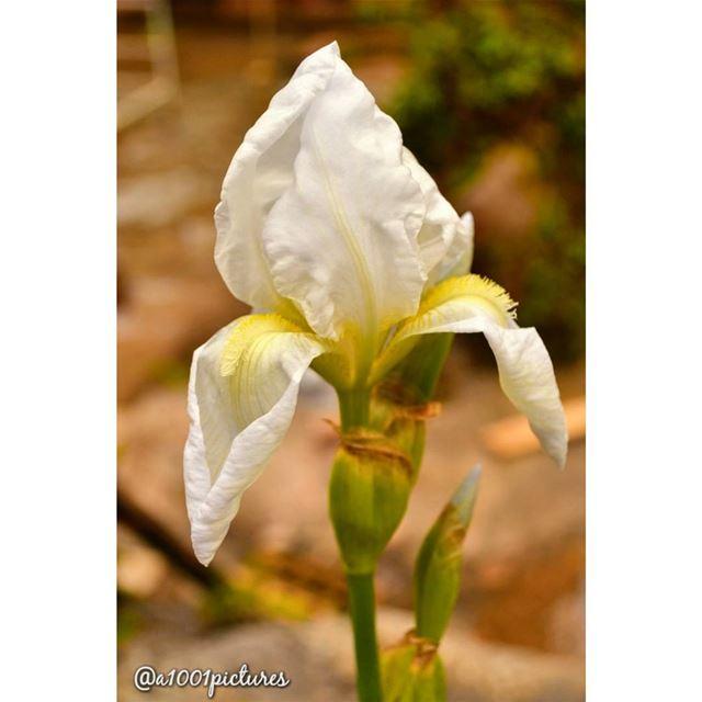 Sweet little Sunday!... flower photography nikon photographer ... (Somewhereinlebanon)