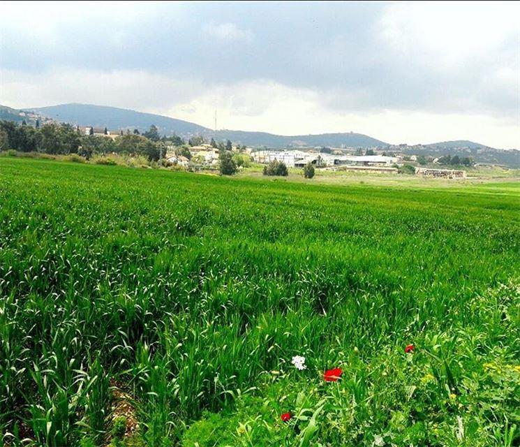 من الحدود مع فلسطين المحتلة spring wheat green colors Beautiful ...