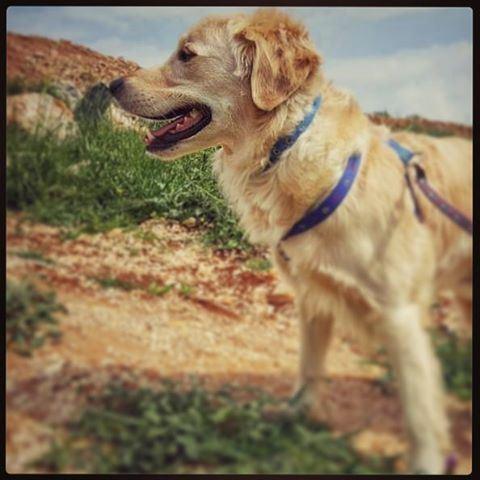 🐕 Woody hehasmyheart ilovemydog purelove goldenretriever goldenlove... (Marjayoûn, Al Janub, Lebanon)
