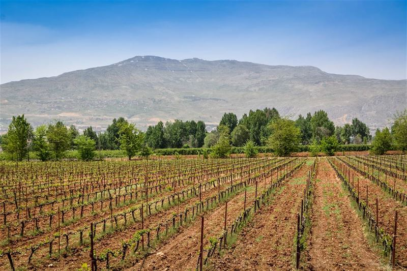 .Beautiful grape Yards and mount Knaisseh as seen from Taanayel. Bekaa➖➖➖ (Deïr Taanâyel, Béqaa, Lebanon)