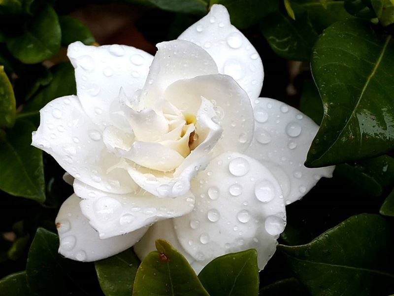 goodmorning lebanon world gardenia flowers garden raindrops ...