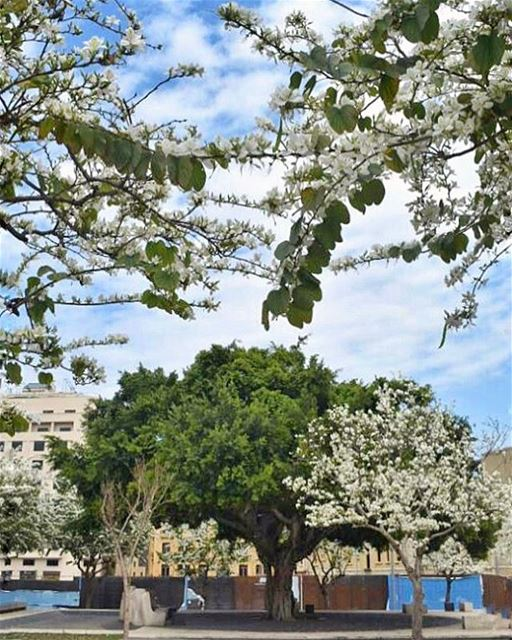Blossoms of hope in the heart of Beirut 💙... (Beirut, Lebanon)