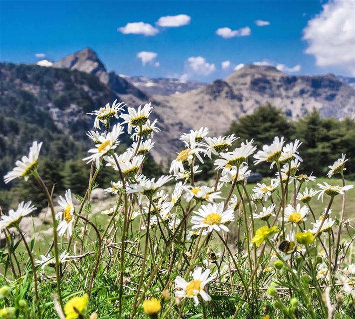 Good morning from Tannourine 🙌🌸🌲 bloom blossom hike nature daisies...