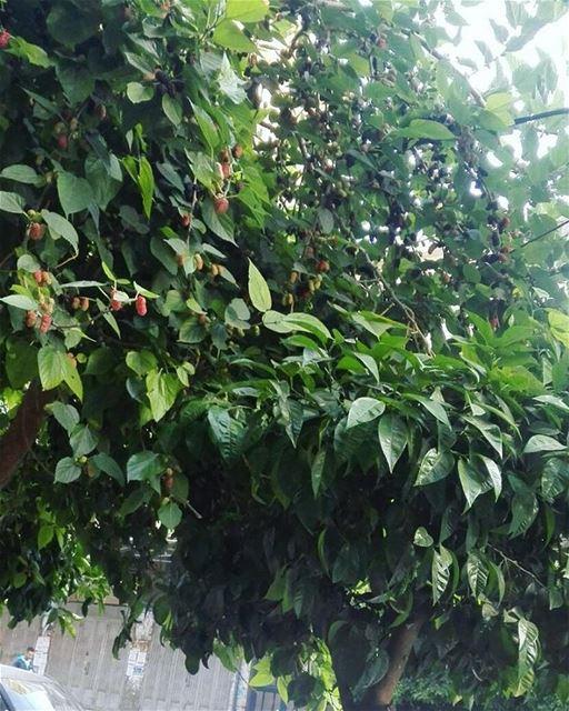 Созрел тут( тутовое дерево ) на улицах Триполи и уже осыпается,решили завтр (Azmi Square- Lebanon)
