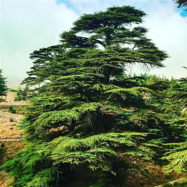 May the forest be with you 🇱🇧... maythe4thbewithyou ... (Cedars of God)