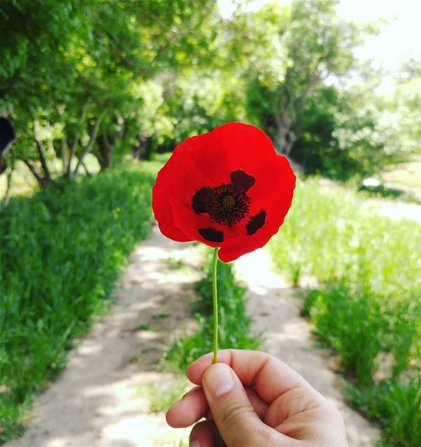 Did you know 💭 that for many cultures, the Poppy is a symbol of restful... (Aammiq Wetland)