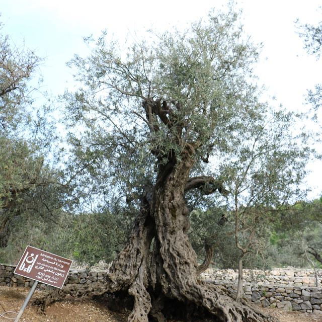 The historic olive trees of bshealeh. Scientifically dated at 4000... (Bshealeh)