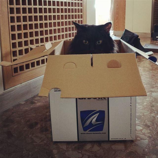 Boxed but free 🐱📦💜 lebanon cat blackcat box fun persianangora ... (Jal el Dib)