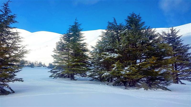 Winter.. Cedars Lebanon Snow switzerlandoftheeast beautiful forest ... (Cedars of God)