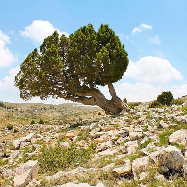 If you stand for a reason, be prepared to stand alone like a tree; and if... (Akoura, Mont-Liban, Lebanon)