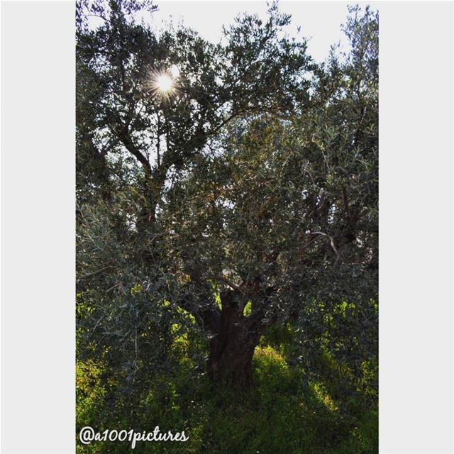 Sunrays peeking through the olive tree at Sainte Therese convent's garden,... (Lebanon)