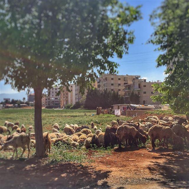 Lunch time - Nature Sheep Trees Tent LiveLoveLebanon wearelebanon ... (Zahlé, Lebanon)