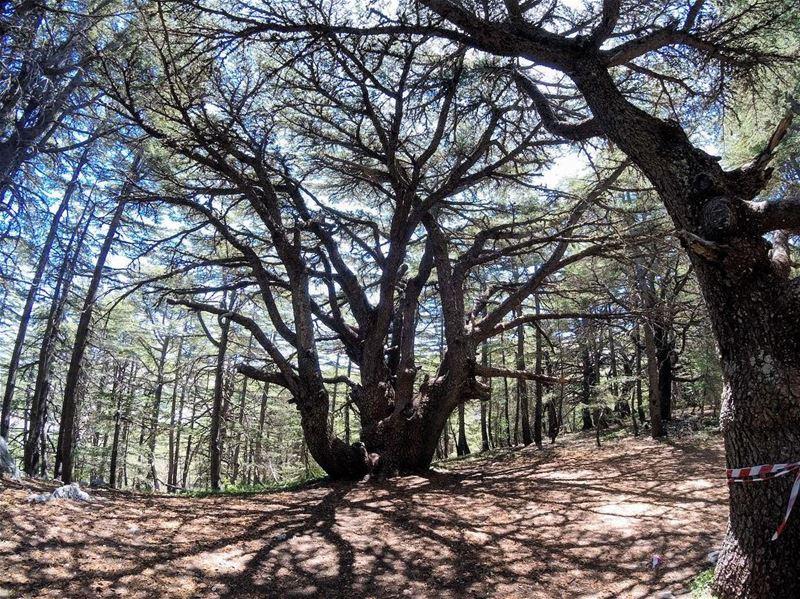 t r e e o f l i f e 🌲 lebanon lebanon_hdr gopro goprolife ... (Al Shouf Cedar Nature Reserve)