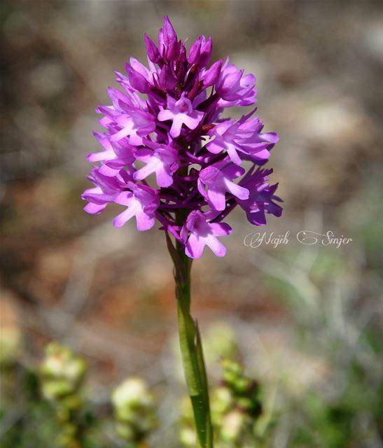 Spring flowers plant plants flower lebaneseinstagram ... (Baakline, Mont-Liban, Lebanon)