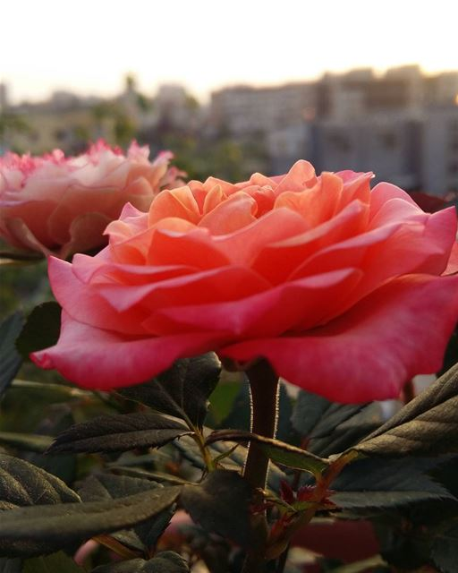 noedit  flowerlovers  flowers  frommybalcony  roses  mood  goodevening ...