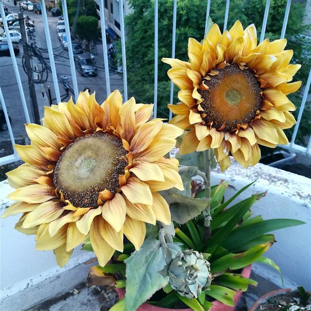 The adoration in a sunflower. Following the sun, loyal in love and misery...