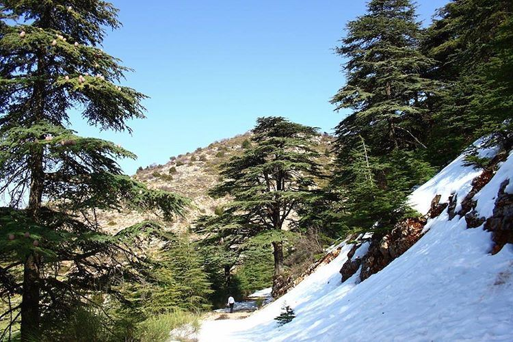 Where's your favorite place to see Lebanon's Cedars? We loved seeing... (Aïn Zhalta, Mont-Liban, Lebanon)