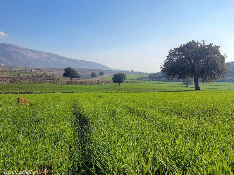 وتظن سنبلة القمح ان المنجل يريد معانقتها... 👌📷 🍃 🌳 حاصبيا الماري ... (Hasbaya District)