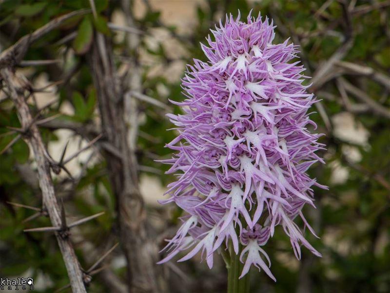 Orchis italica Poir__________________ Orchid lb_akkar livelovebeirut ...