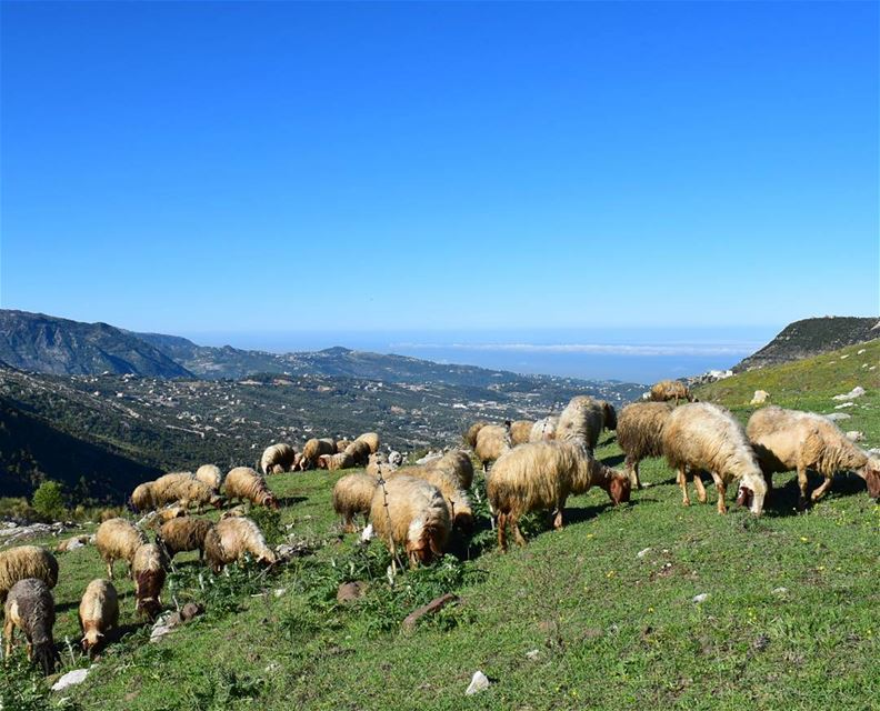 Can't Sleep ?! Count The Sheep 🐑 (Ehmej, Mont-Liban, Lebanon)
